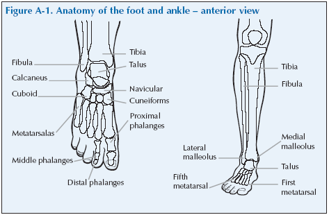 The Foot & Ankle | Global Alliance for Musculoskeletal Health