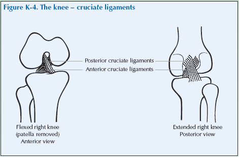 K-4 The knee-cruciate ligaments