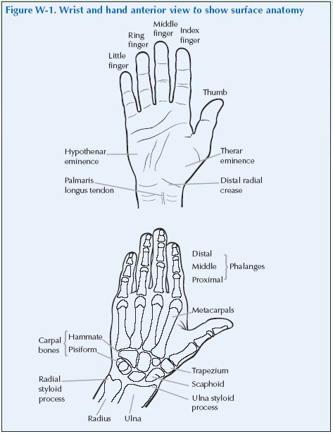 The Wrist & Hand | Global Alliance for Musculoskeletal Health