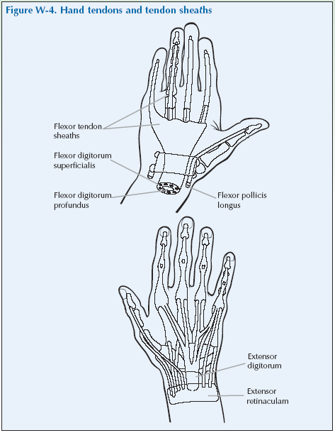 W-4 Hand tendons and tendon sheaths